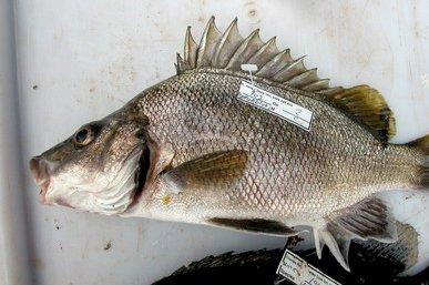Silver Grunter, <i>Mesopristes argenteus</i>