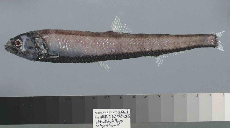 Silver Lightfish, <i>Phosichthys argenteus</i>
