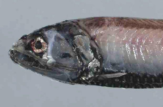 Silver Lightfish, Phosichthys argenteus (Hutton, 1872)