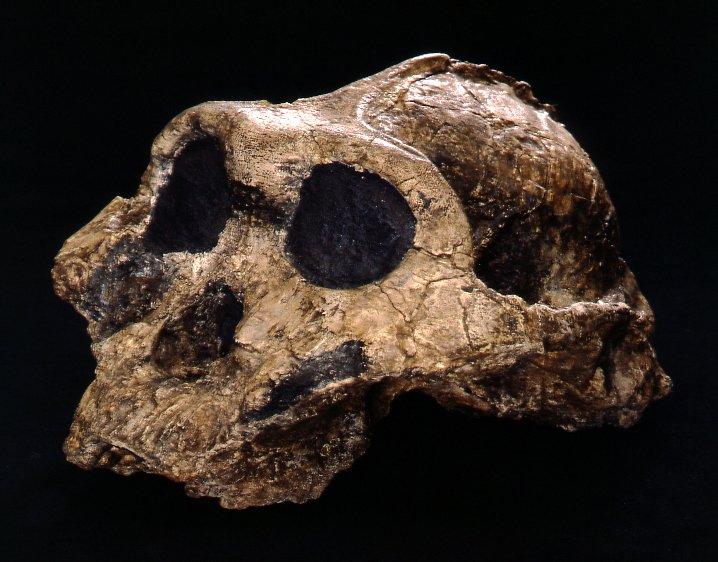 Skull cast paranthropus boisei