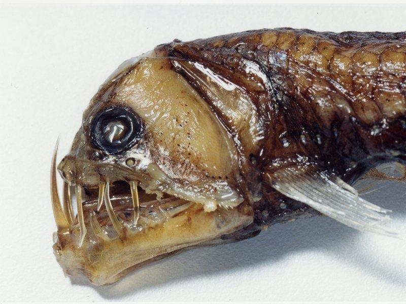 Sloane's Viperfish, Chauliodus sloani