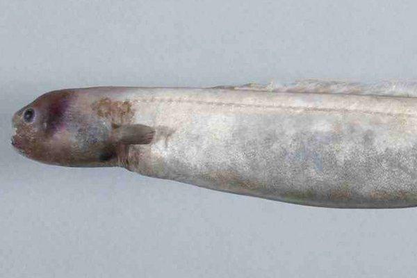 Snubnosed Eel, Simenchelys parasitica Gill, 1879