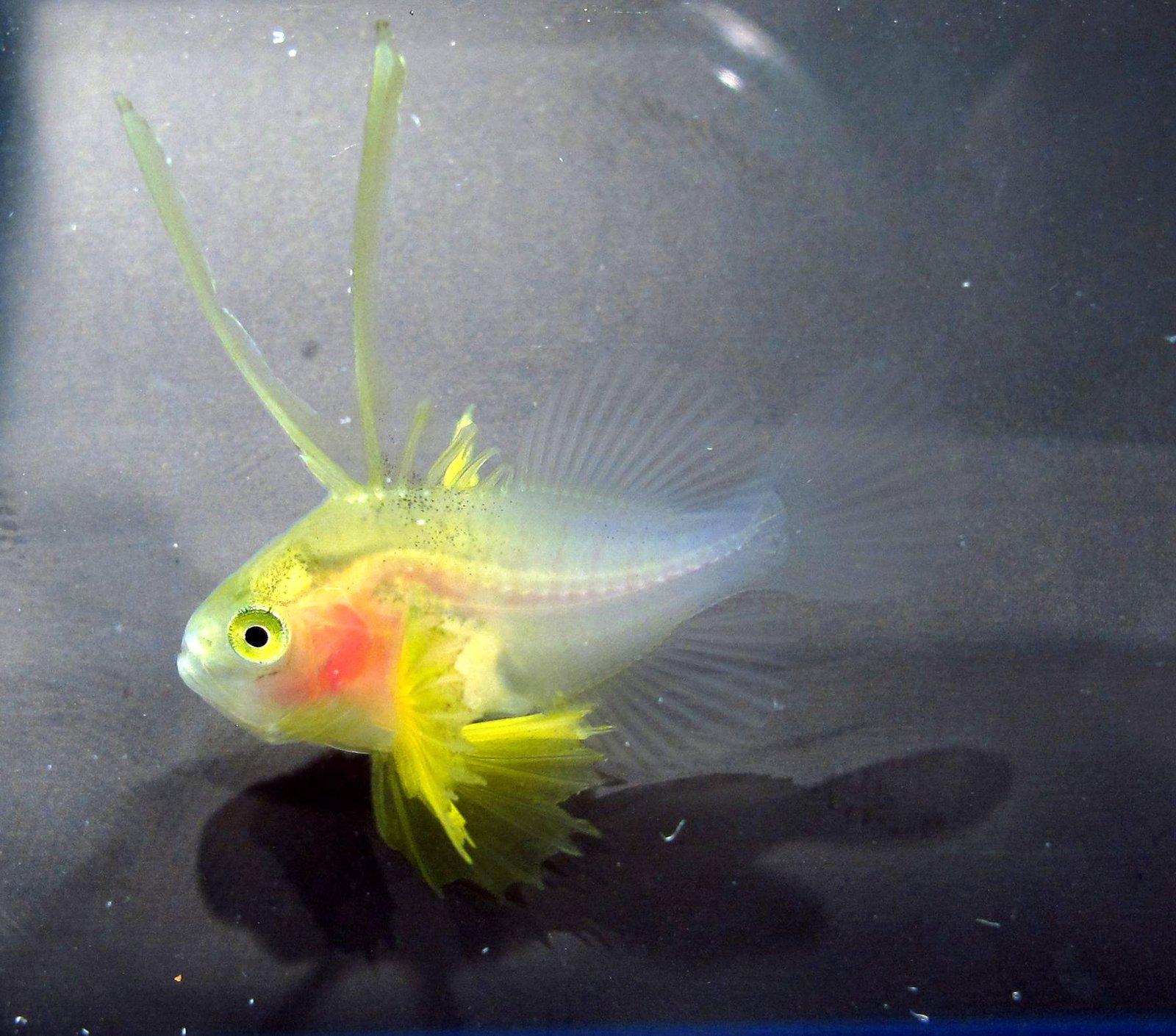 Soapfish, Diploprion bifasciatum