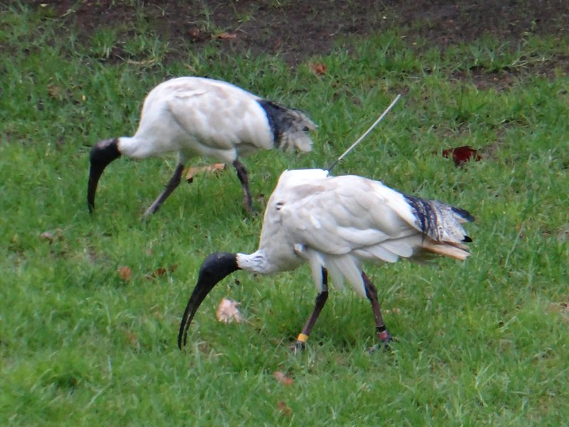 Solar-powered Ibis