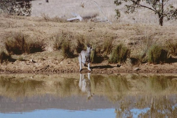 Eastern Grey Kangaroo Drinking