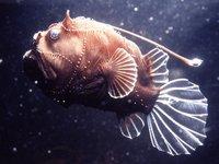 A deepsea anglerfish, <i>Bufoceratias wedli</i>
