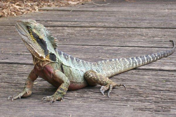 Male Eastern Water Dragon, Intellagama lesueurii lesueurii