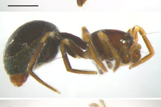 Anatea monteithi, Anatea elongata