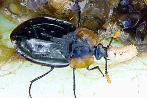 Ptomaphila perlata