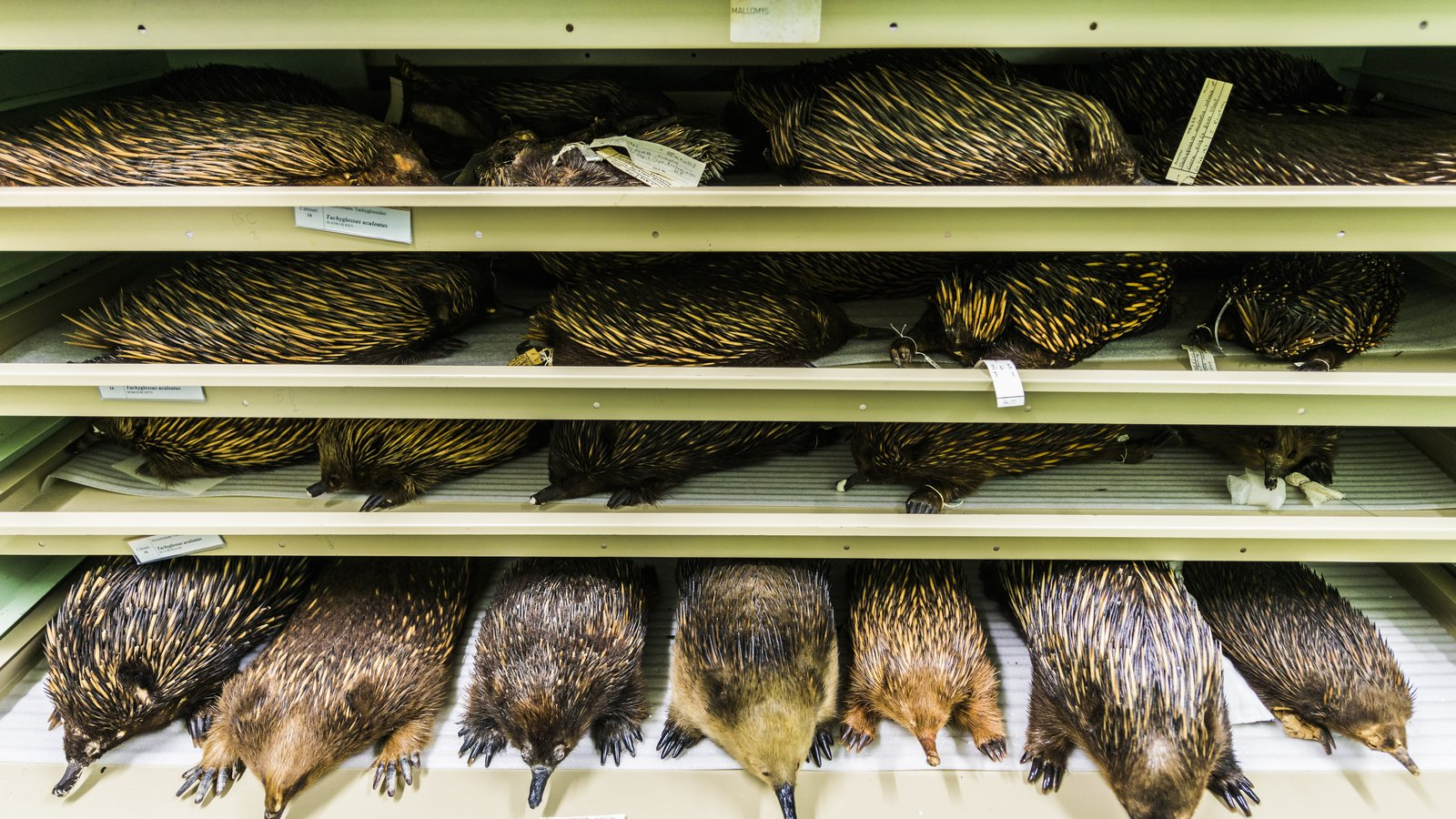 Echidna skins in the Mammalogy Collection Area