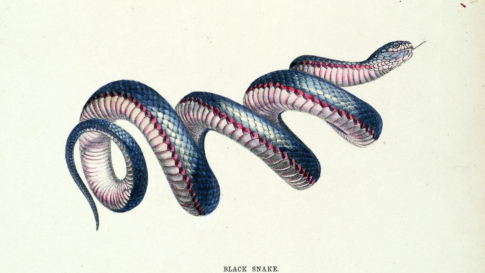 snakes of australia
