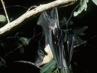 Saccolaimus flaviventris