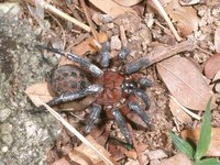 Segmented Spider from Penang