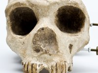 Gibraltar skull