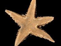J. 13881 Astropecten petinatus