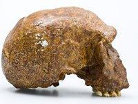 Steinheim skull - Homo heidelbergensis