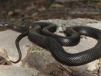 Spotted Black Snake Pseudechis guttatus