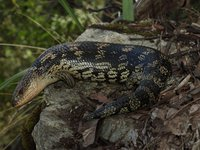Blotched Blue-tongue Tiliqua nigrolutea
