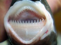Smalltooth Cookiecutter Shark, Isistius brasiliensis