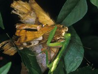 Mantodea and Lepidoptera