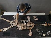 Pliosaur fossil maintainace