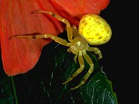 Flower spider (Diaea sp)