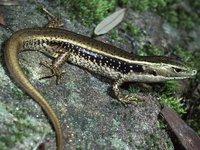 Eulamprus quoyii