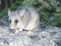 Mountain Pygmy Possum, Burramys parvus