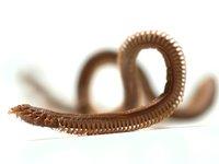 Beach Worm