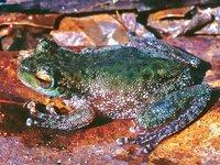 Wanted Frog Species - FrogID