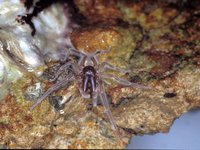 Desidae, Arachnida