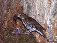 AMS405/223 Ground Thrush