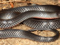 Eastern Small-eyed Snake - Cryptophis nigrescens