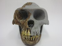 Ardipithecus ramidus skull