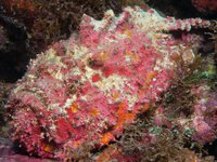 Reef Stonefish, Synanceia verrucosa