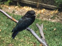 Dollarbird, Eurystomus orientalis