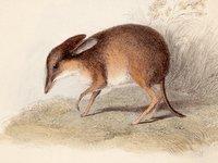 Chaeropus ecaudatus