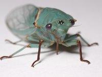Blue Moon cicada