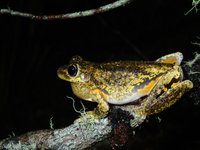 Peron's Tree Frog (Litoria peronii)