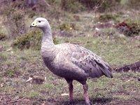 AMS405/55 Cape Barren Goose