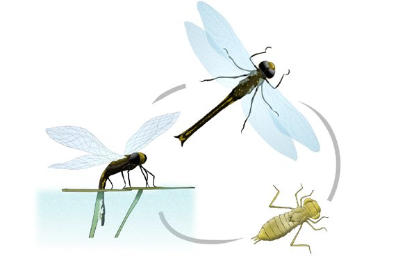 Dragonfly life cycle - Hemianax sp.