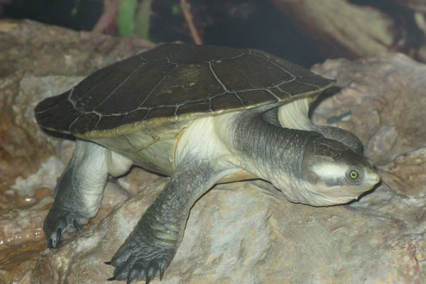 A male Krefft's Turtle, Emydura krefftii.