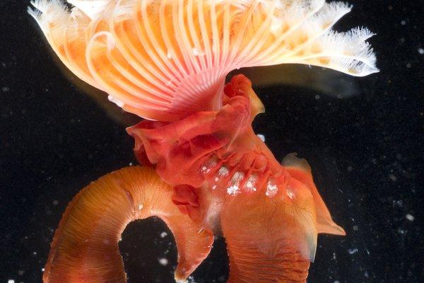 Polychaete Serpula sp.