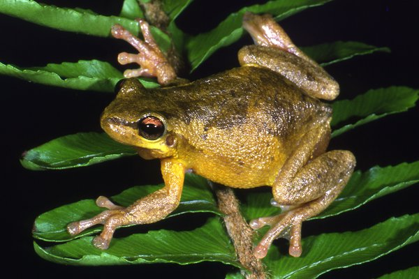 Litoria dentata