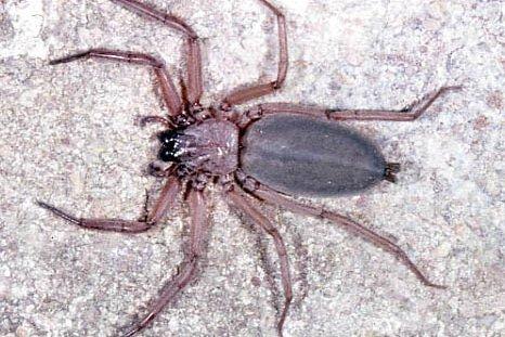 Hemicloea sp