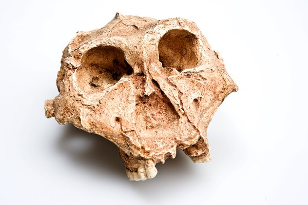 Australopithecus robustus (skull)