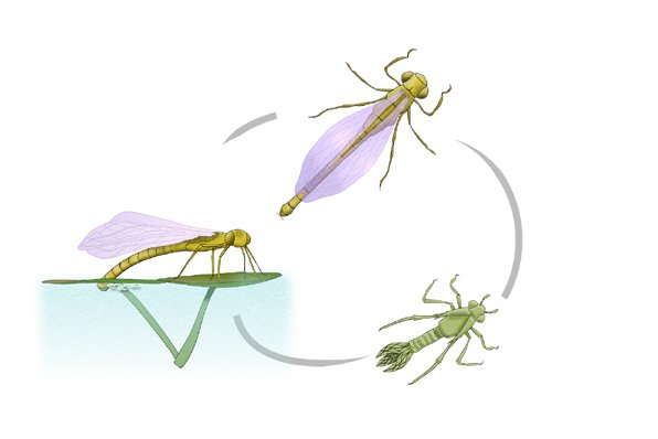 Damselfly life cycle - Austrolestes sp.