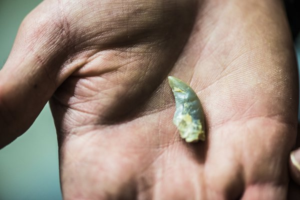 Opalised velociraptor tooth