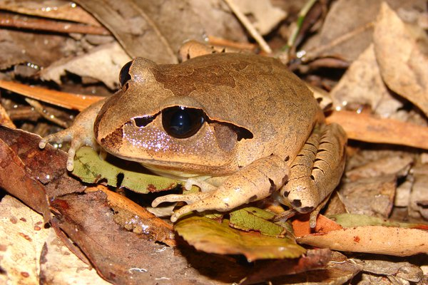 Great-barred Frog (Mixophyes fasciolatus)
