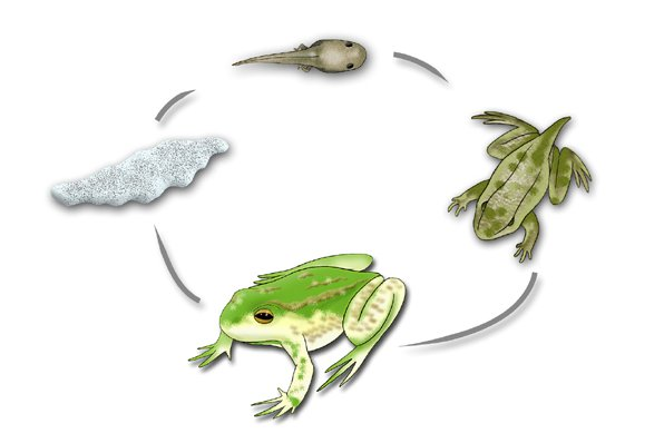 Green and Golden Bell Frog Life cycle - Litoria aurea